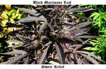 black marijuana leaf