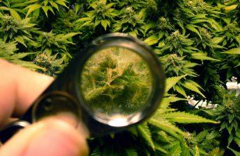 when to harvest marijuana plants