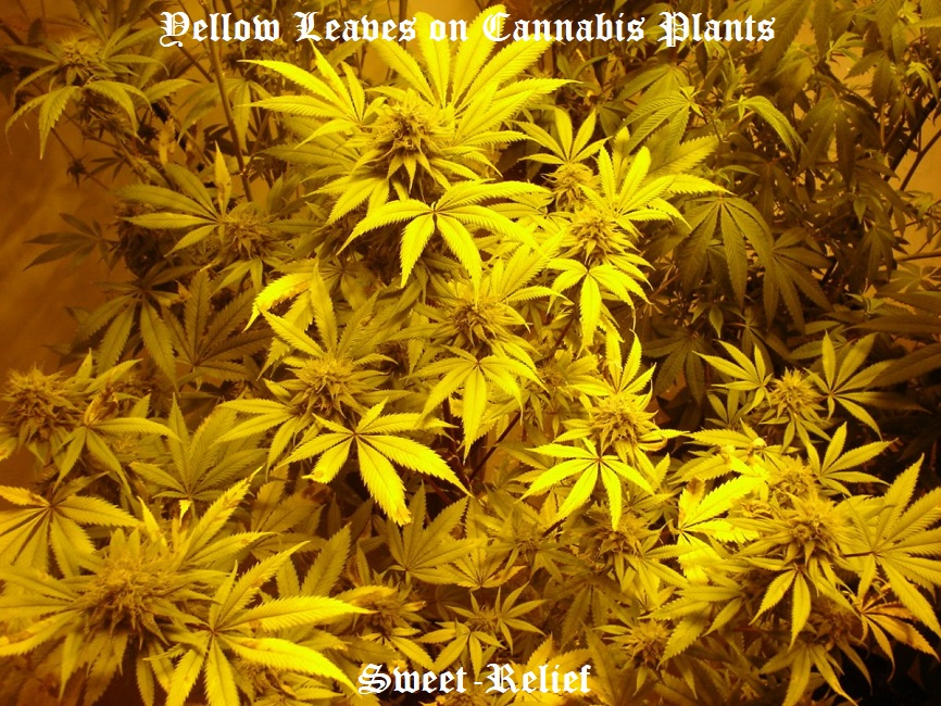 yellow weed leaves