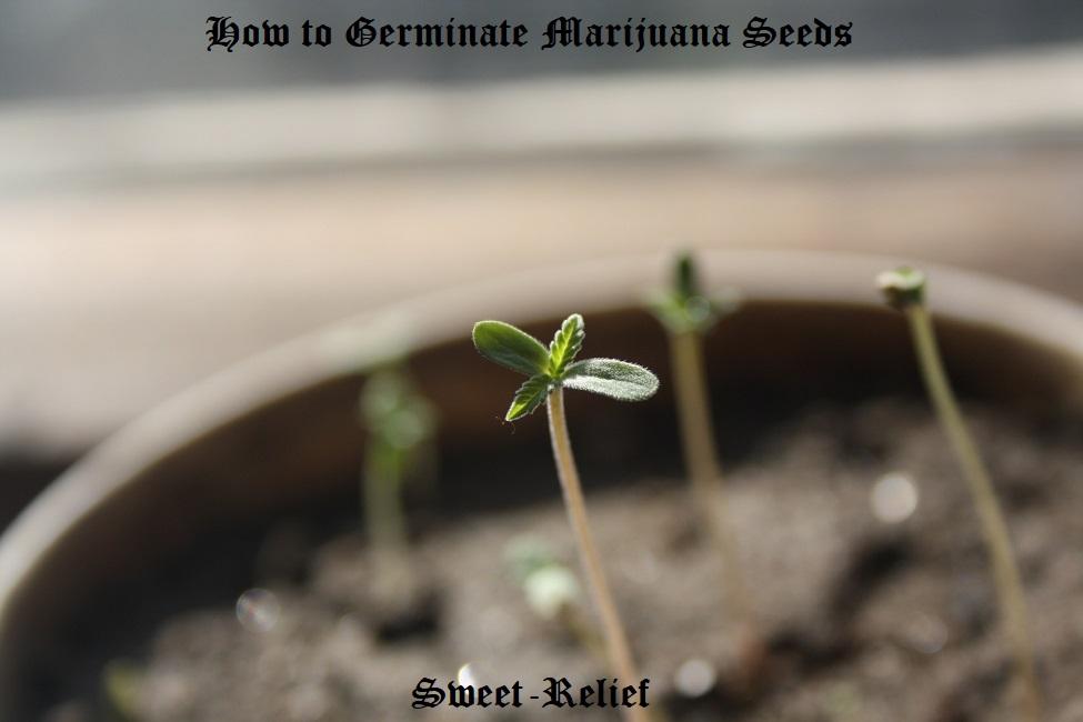 marijuana seed guide