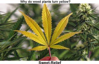 weed plants turn yellow